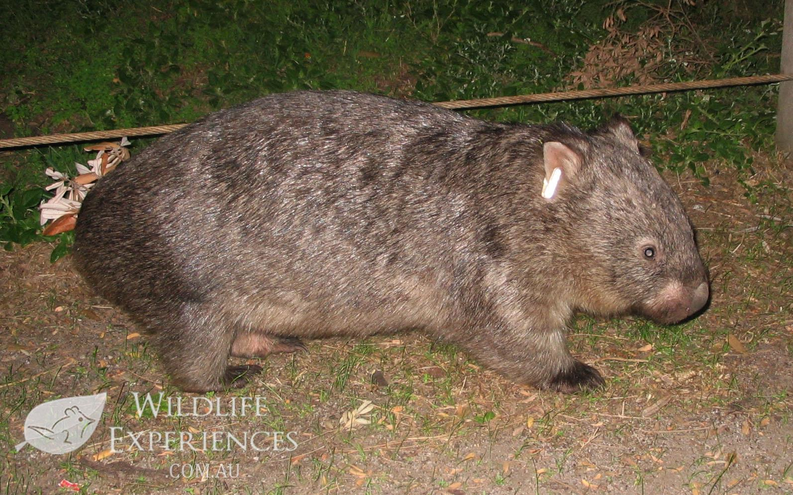 074 Common Wombat Tidal River Wilsons Prom NP Vic 250407